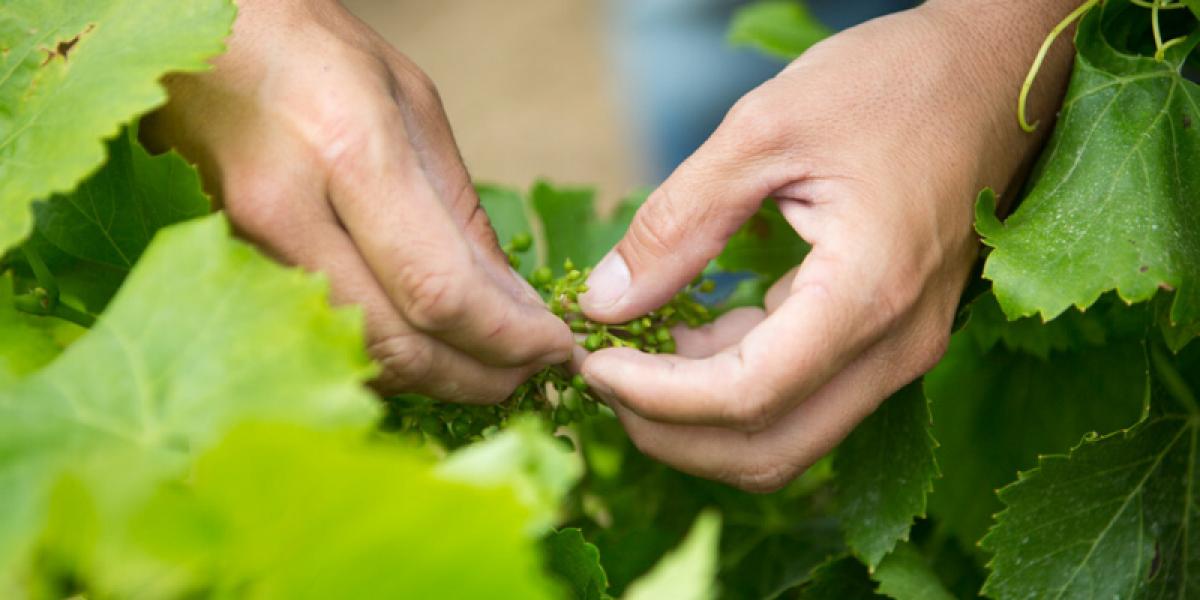 Découvrir le cycle de la vigne au fil des saisons au sein de la Maison Gabriel Meffre