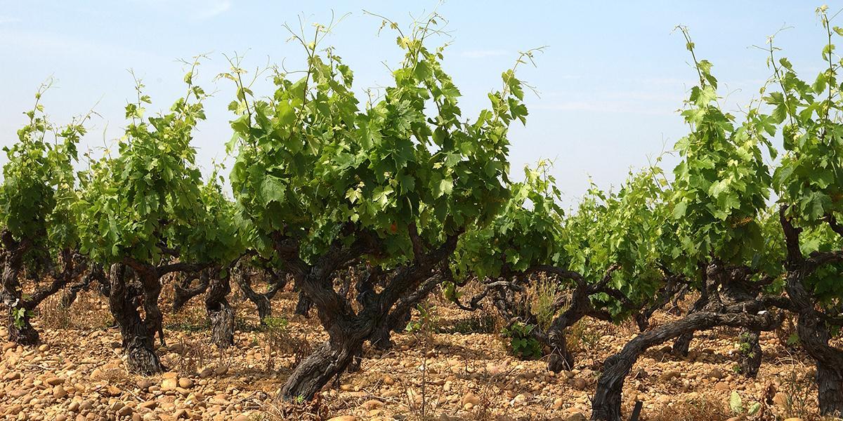 Les vins Côtes du Rhône un sujet expliqué par la maison Gabriel Meffre